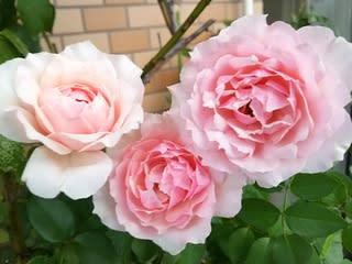 エウリディーチェ - バラコの薔...