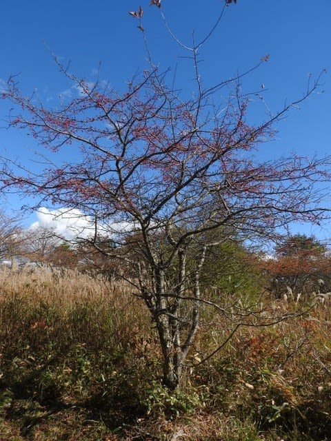 高ボッチ高原・鉢伏山で最近見る事の出来る実・種 ズミ(酢実)
