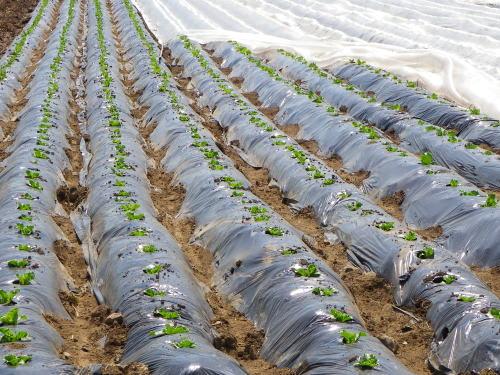 レタス苗の定植