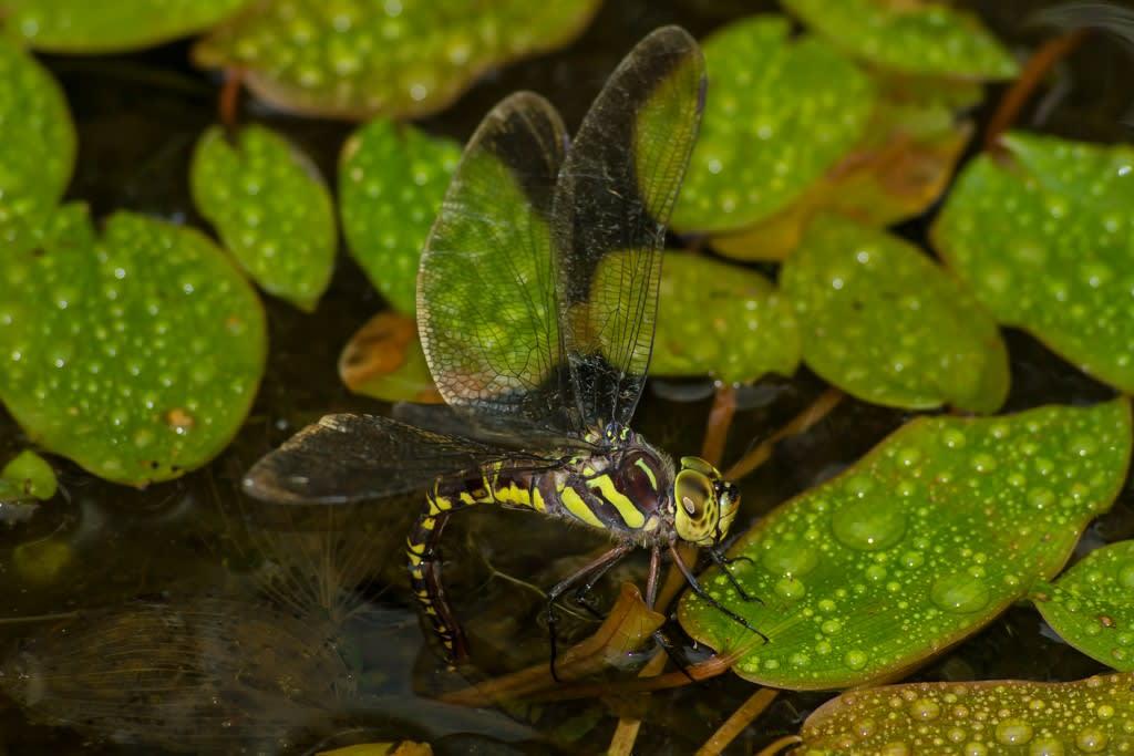 オオルリボシヤンマのメスの複眼と胸部、腹部の斑が黄色(ノーマルタイプ)の写真