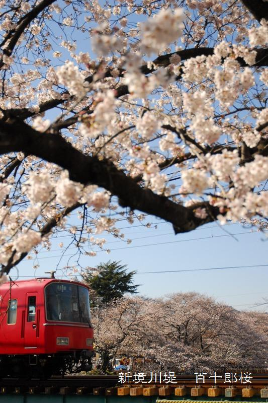 百十郎桜 - 岐阜をのんびり