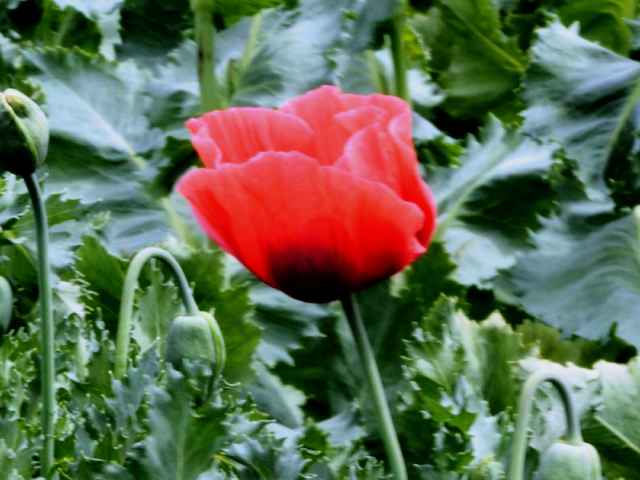 あへん法により栽培禁止のけしの花 - homanのブログ