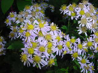 ノコンギクの花