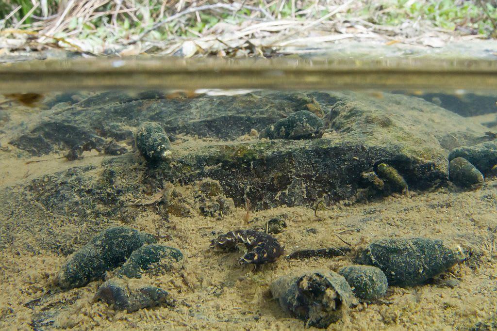 ゲンジボタルの幼虫(水中撮影)