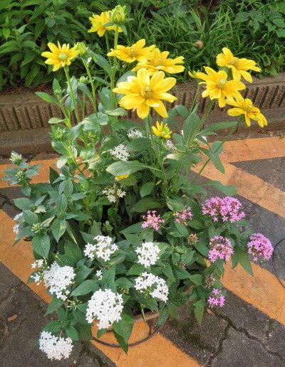 夏らしい寄せ植え鉢の花
