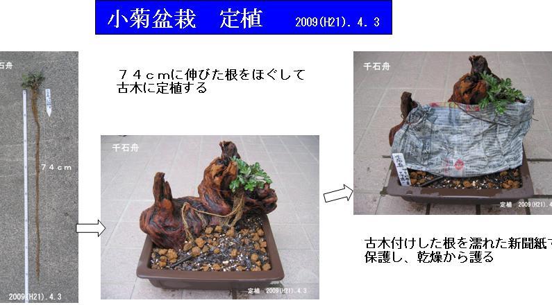 Kogiku_bonsai20090403