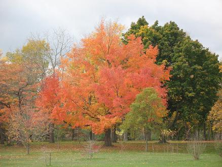 残り少ない秋を謳歌する砂糖楓
