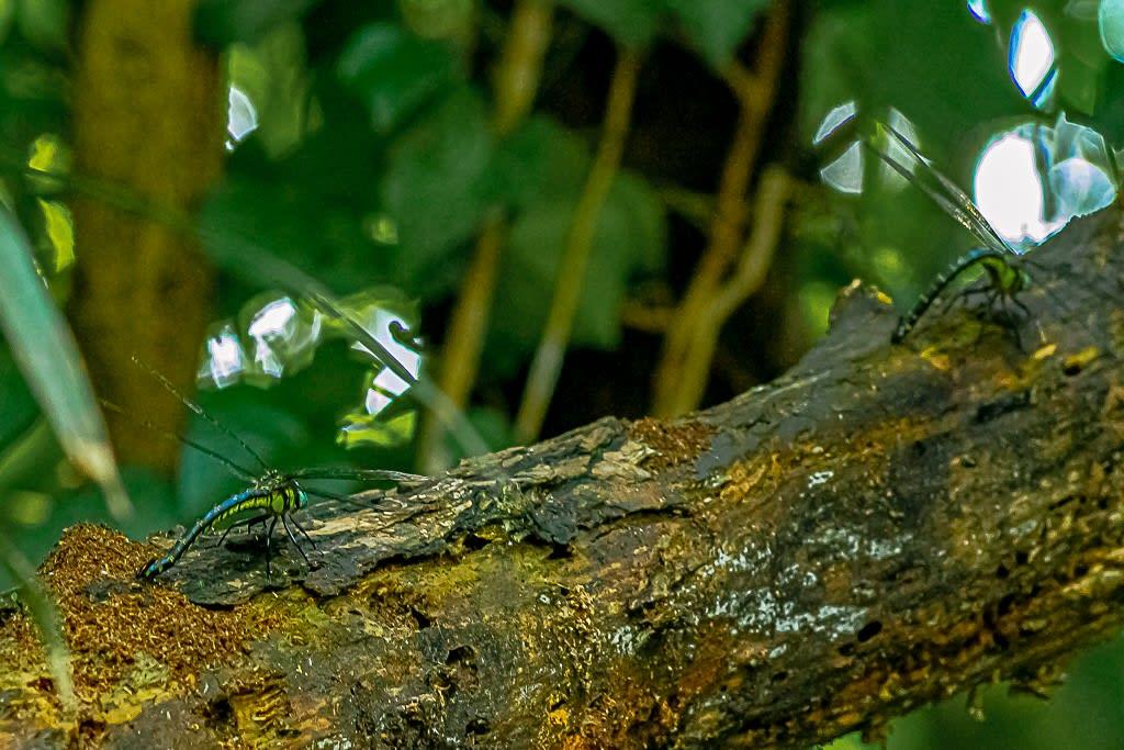 ネアカヨシヤンマの産卵写真
