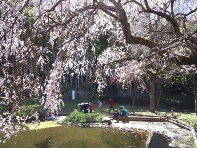 荒井城址公園のしだれ桜2019/3/31現在 - あられの日記