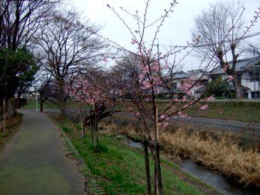 Sakurasaho