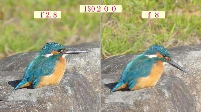 フリー素材 : 野鳥 ・ 翡翠 於大公園のカワセミ FZ300: f5.6 f8 は ...