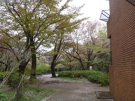 多摩湖・狭山湖桜開花情報2012
