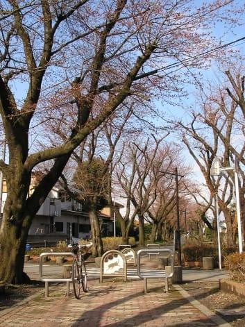 多摩湖・狭山湖桜開花情報2010