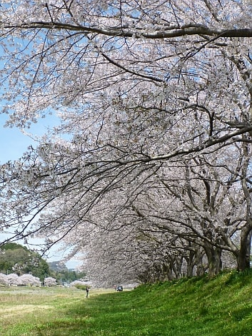 栃木 花見