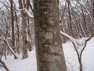 上はコシアブラ。これはブナ。パッ見じゃなくても樹皮からは分かりません。見分け方は枝の付き振り。シュ(?)っとしてるのがブナで、ドシ(?)っとしてるのがコシアブラ。
