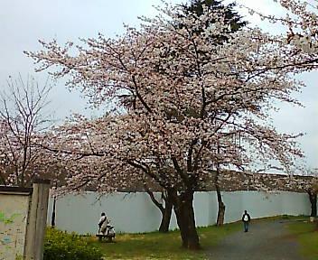 桜 狭山公園