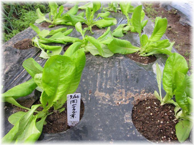 岡山サラダ菜 2010年10月29日