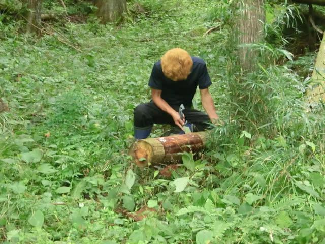 杉の皮採取