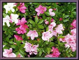 五色の咲き分け