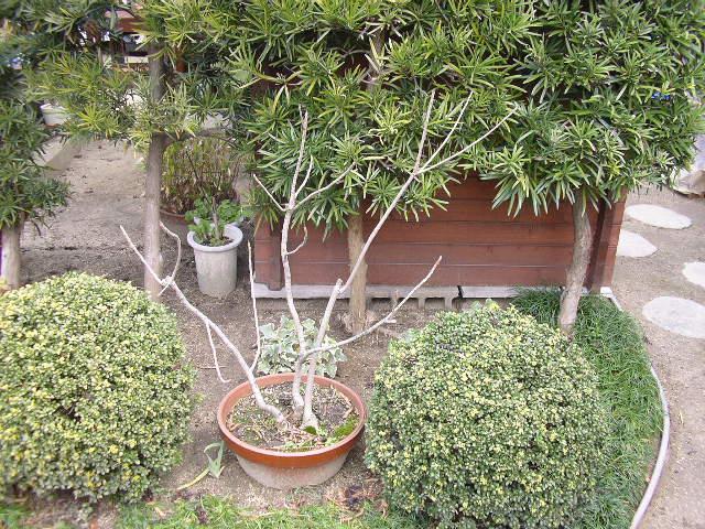 ハゼの木の画像