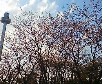 桜 埼玉 所沢