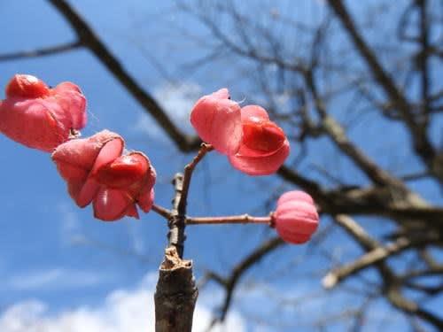 高ボッチ高原・鉢伏山で最近見る事の出来る実・種 カントウマユミ(関東真弓)