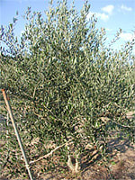Olive_ph11