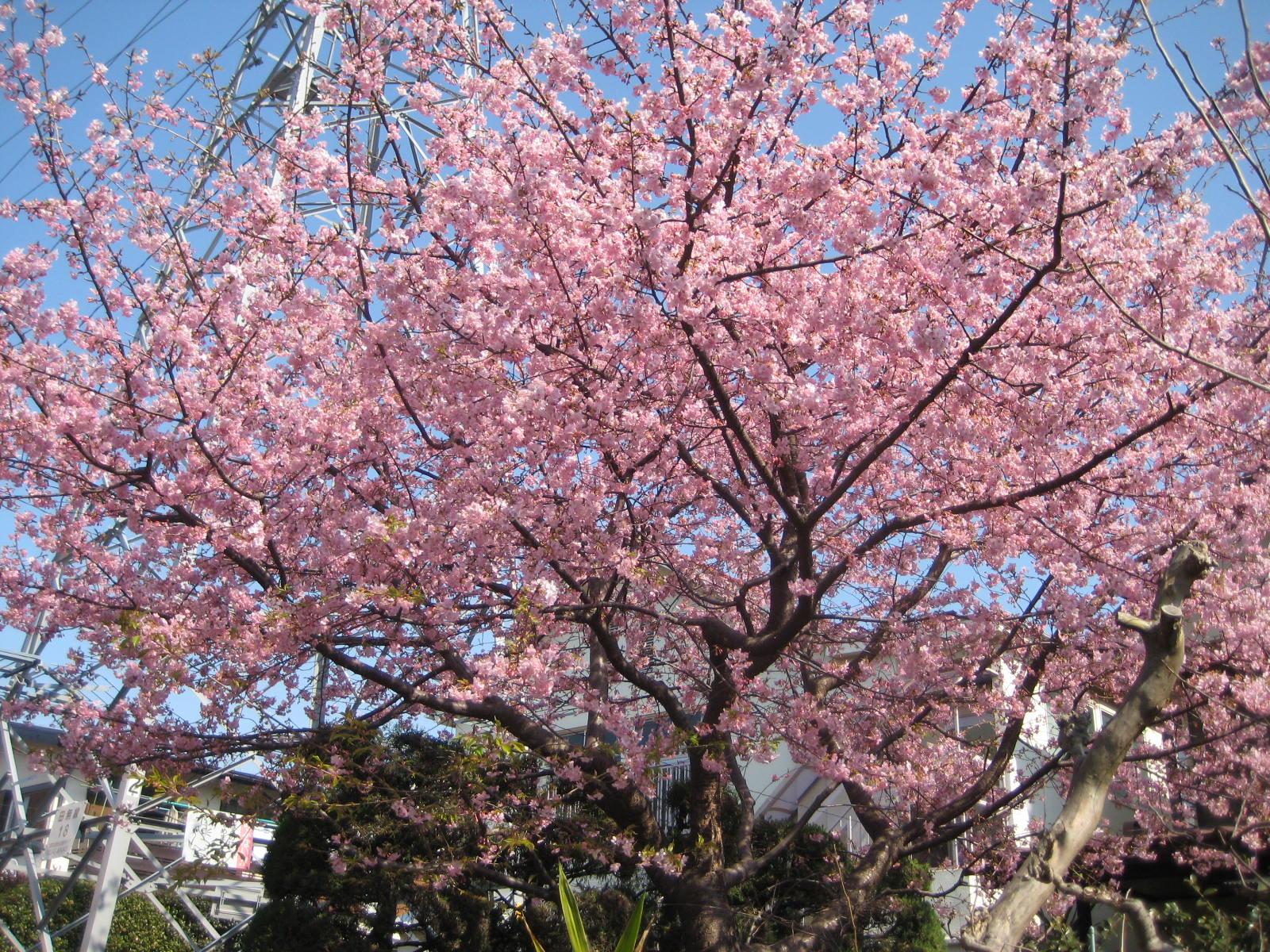 カワヅザクラ(河津桜)」 - 花熟里(けじゅくり)の静かな日々