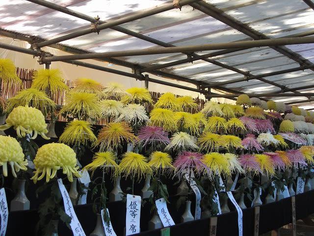 観光菊花大会が開かれていました。