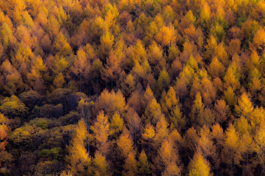 カラマツ林(紅葉)の写真
