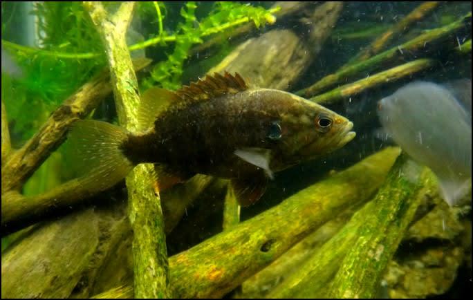 魅力あふれる淡水魚『オヤニラミ』の飼い方