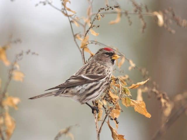 新潟の野鳥 ベニヒワ - 新潟の野...