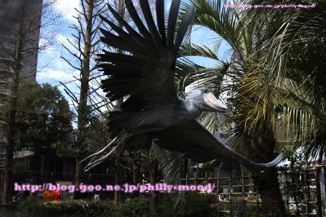 飛ぶ ハシビロコウ