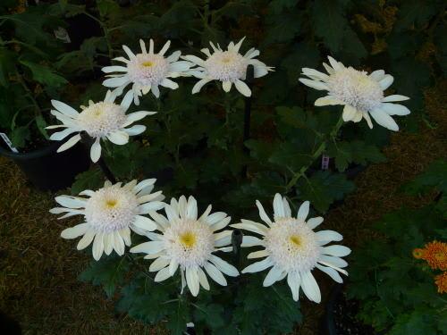 洋菊「白美人」