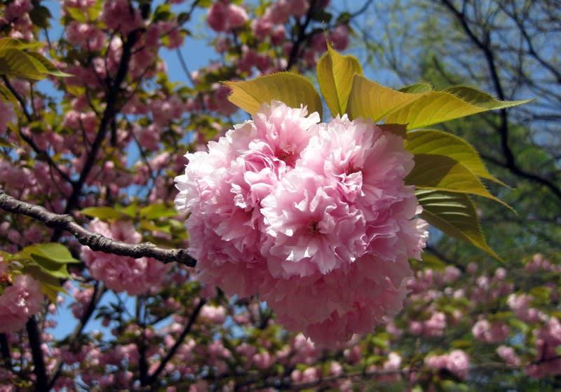 Double_flowering_zoom