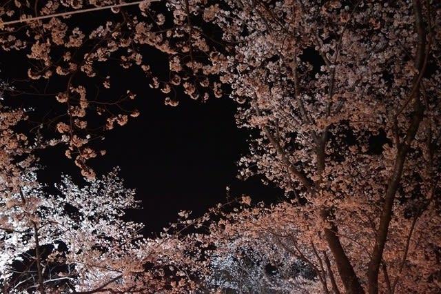 伊勢市「宮川の夜桜」見てきました〜(^^)