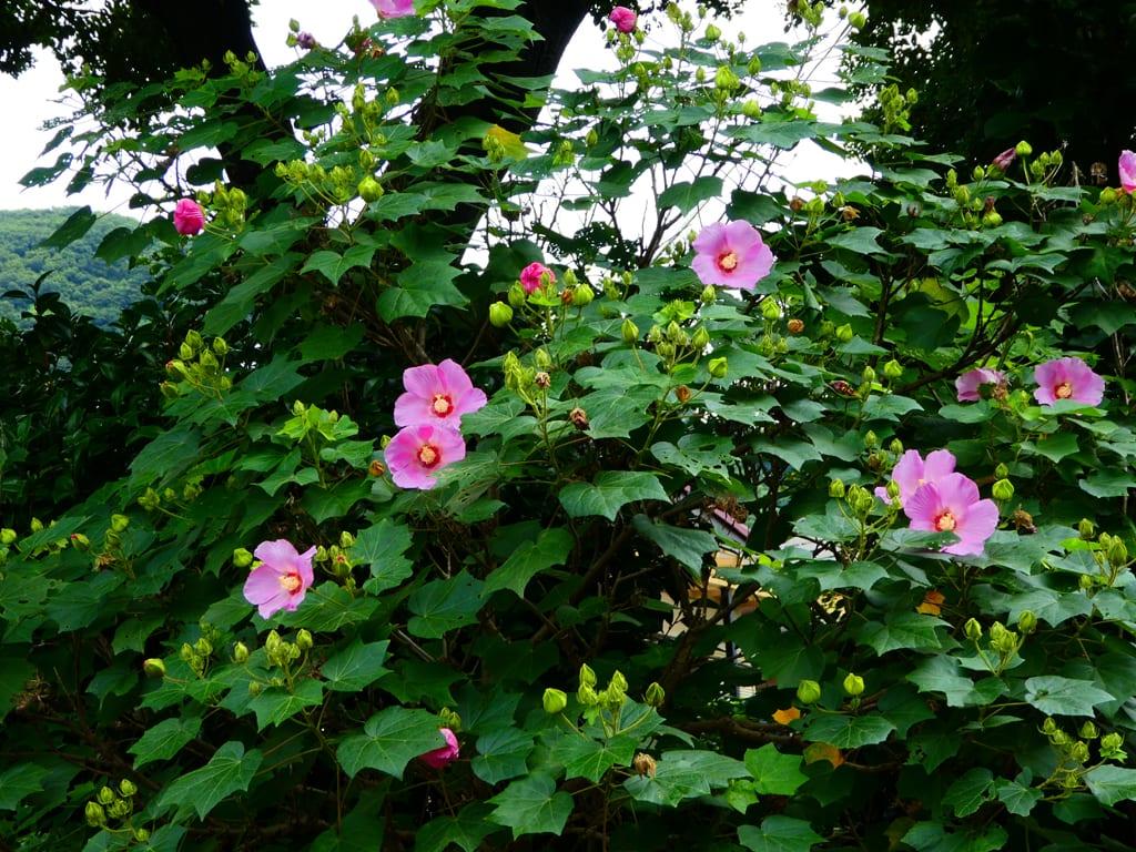 四季芙蓉_『季節の花』 芙蓉 - 大磯の風