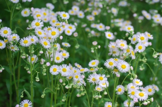 ハルジオン(春紫苑)> ヒメジ...