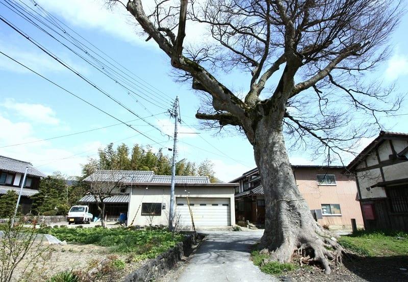 長浜市野村町 野村のケヤキ - 巨樹、巨木巡礼