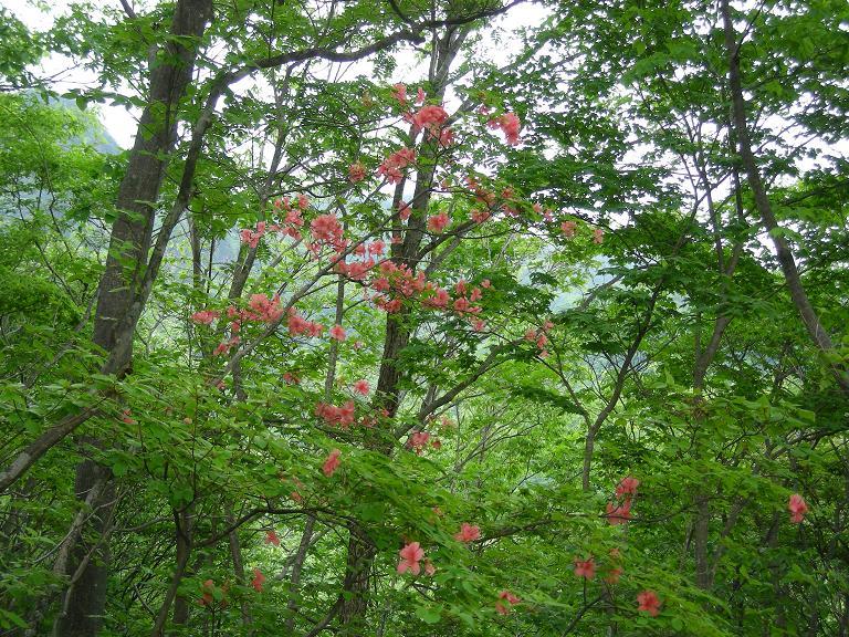「ヤマツツジ咲く自然林」