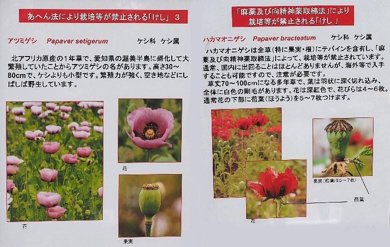 東京都薬用植物園のケシ(芥子 ア...