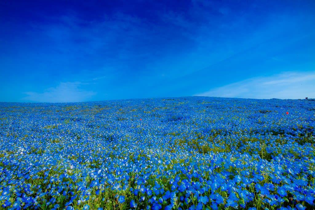 ネモフィラの丘の写真