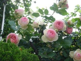かわいい薔薇