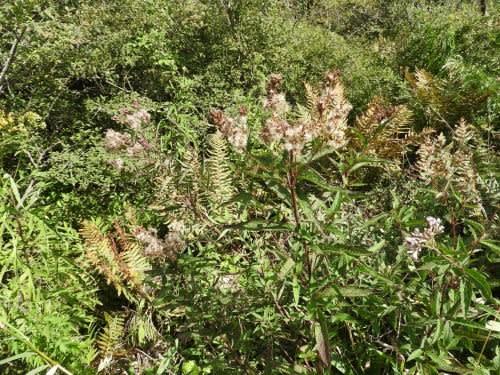 高ボッチ高原・鉢伏山で最近見る事の出来る実・種 ヨツバヒヨドリ(四葉鵯)