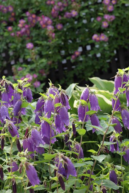 6月上旬、バラの季節に咲く花たち~2021