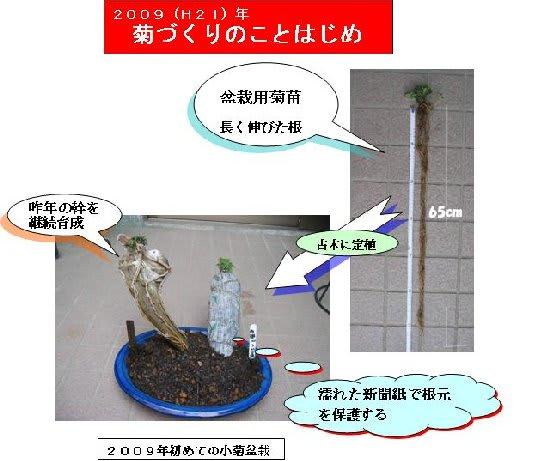 Kogiku_bonsai2009_2