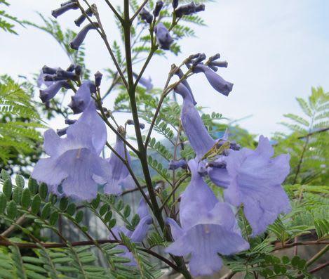 ジャカランダの花、ノウゼンカズラ科なのだそうです