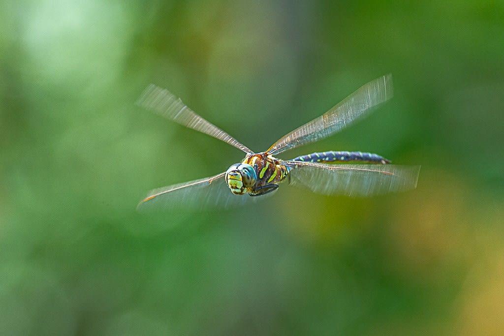 ルリボシヤンマ(静止飛翔)の写真