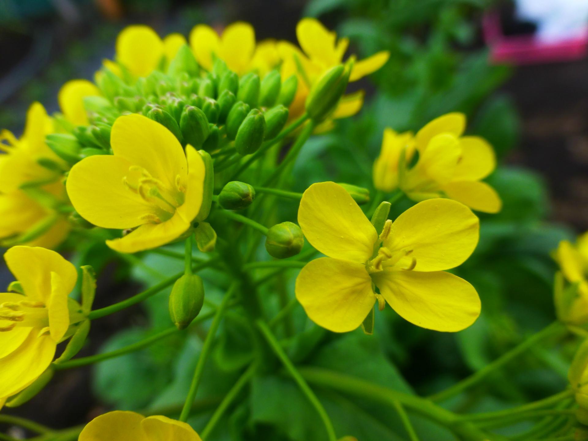菜の花 花 食べ られる