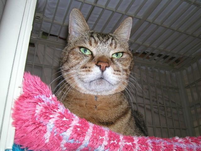 猫 こう もん の う は れつ 自然 治癒